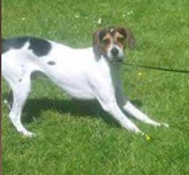 Beagle Jack Russell Cross for sale