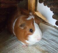 "Young Female Small & Furry - Guinea Pig: ""Cinnamon"""