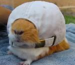 The friendly guinea pig