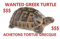 WILL PAY FOR ADULT GREEK TORTOISE / ACHETE TORTUE GRECQUE