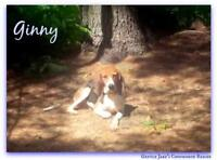 """Young Female Dog - Treeing Walker Coonhound: """"Ginny PENDING"""""""