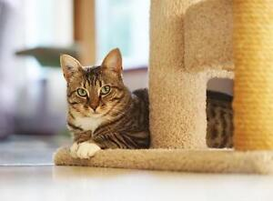 """Adult Male Cat - Tabby - Brown: """"Lionel"""""""