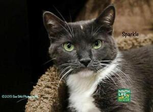 "Adult Female Cat - Domestic Short Hair: ""Sparkle"""
