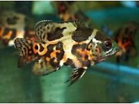 Assorted Oscars for sale 5cm - 15cm Snakeskin, Red, Tiger etc tropical fish