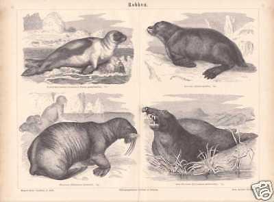 Robben Seehunde Walross Seebär STICH von 1878