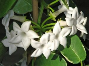 1 X Madagascar Jasmine Plant ~nice perfume plant Taree Greater Taree Area Preview