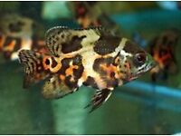 Oscars for sale - Snakeskins / Albino / Tiger / Red - live tropical fish