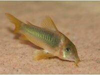 Corydoras melanotaenia Group of 3