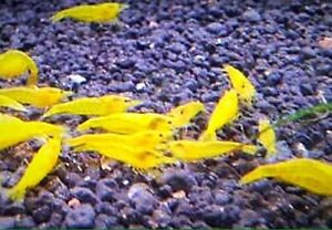 Yellow shrimps Cabramatta West Fairfield Area Preview