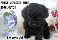Teacup and Tiny Toy Poodle Puppies  CKC Registered