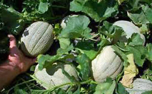 CANTALOUPE-HALES-BEST-JUMBO-HEIRLOOM-ORGANIC-25-SEEDS-SWEET-AND-DELICIOUS