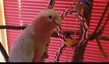 REWARD - Lost Pink and Grey Galah Bassendean Bassendean Area Preview