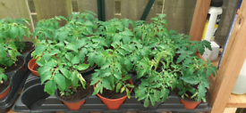 Tomato plants, peppers and cucumbers