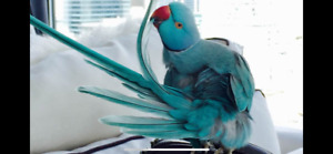 Looking for a baby male ringneck blue,turquoise, lacewing