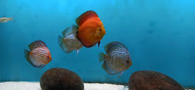 Quality UK BRED Discus