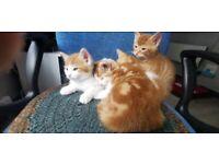4 lovely male kittens