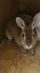 Rex bunny for sale