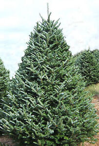 Beautiful Premium Fir Christmas Trees - Pre Cut