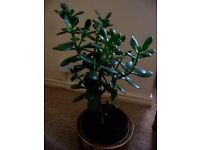 large healthy LUCKY JADE MONEY PLANT Crassula ovata 50cm tall Feng Shui friendship collect MBRO £25