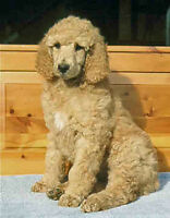 Looking for a Dog Lover to Foster My Standard Poodle Puppy