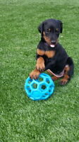 Purebred CKC Registered Doberman Pincher Puppies