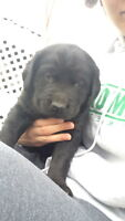 Black LabX Goldren Retriever Puppies