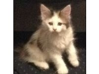 Maine Coon Cross Kittens Ready Now