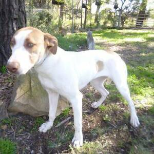 JESSY - 9 month old female BULL ARAB - Looking for loving home! Picton Wollondilly Area Preview