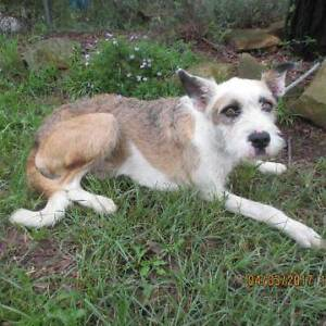 """17/99 """"BEANZ"""" - 2 year old male X BREED - Seeks home! Picton Wollondilly Area Preview"""