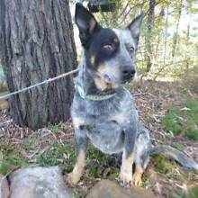 DIESEL - 2 year old male BLUE CATTLE DOG - Seeks new home Picton Wollondilly Area Preview