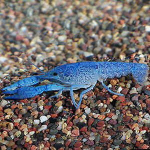 Free freshwater crayfish (blue lobsters)