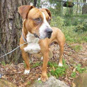 """17/52 """"ROSCO"""" - 2 year old STAFFY X - Needs a home! Picton Wollondilly Area Preview"""