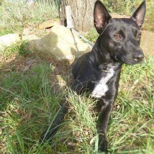 """17/14 """"CHEVY"""" - 1 year old female STUMPY TAIL CATTLE - Needs home Picton Wollondilly Area Preview"""