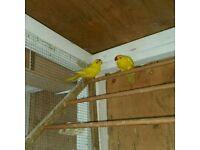 Pair yellow kakarikis for sale