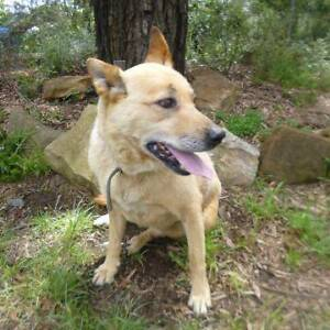 """17/104 """"MILO"""" - 10 year old male KELPIE X CATTLE - Needs a home! Picton Wollondilly Area Preview"""