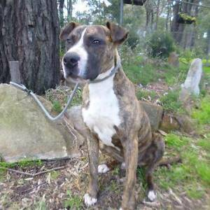 BENJAMIN - 12-18 month old male MASTIFF X - Requires new home! Picton Wollondilly Area Preview