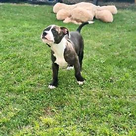Last pup - Bullstaff / American bulldog