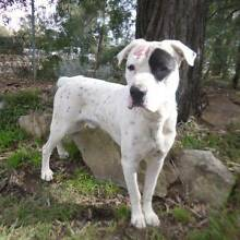 PHOENIX - 4 year old male BOXER X - URGENT home required Picton Wollondilly Area Preview