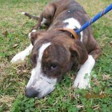TIMMY - 8 month old male STAFFY X - Looking for a home Picton Wollondilly Area Preview