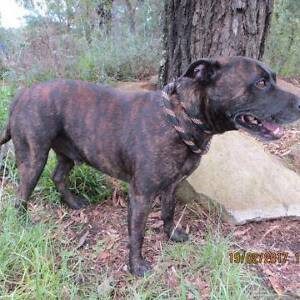 """17/81 """"STITCH"""" - 7 year old male STAFFY - Seeks loving home! Picton Wollondilly Area Preview"""