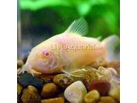 10 corys different species