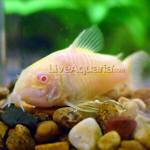 Guppies and Cat fishes for sale or trade