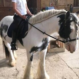 COB GELDING 9 years 13.2 for part loan