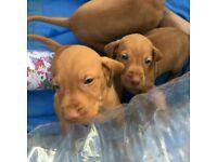 9 beautiful Hungarian vizsla puppies male and female