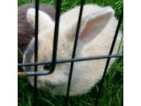 Baby male buck bunny rabbit mini lion lops