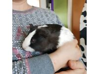 Guinea pigs x6 (6 mnths old) gorgeous girls. Hutch also for sale