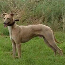 Whippet/saluki/greyhound for sale