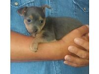 Blue Jack Chalkie Puppies (Chihuahua x Jack Russell x Yorkshire Terrier) Very Small.