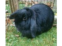 Adult Female Mini Lop Rabbit + Hutch and Accessories