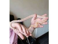 Rare masque morph young corn snake